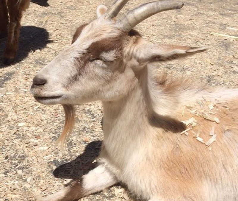 A Goat in Paradise – Is Serenity Possible in This World?